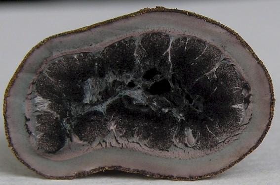 Elaphomyces asperulus im Querschnitt