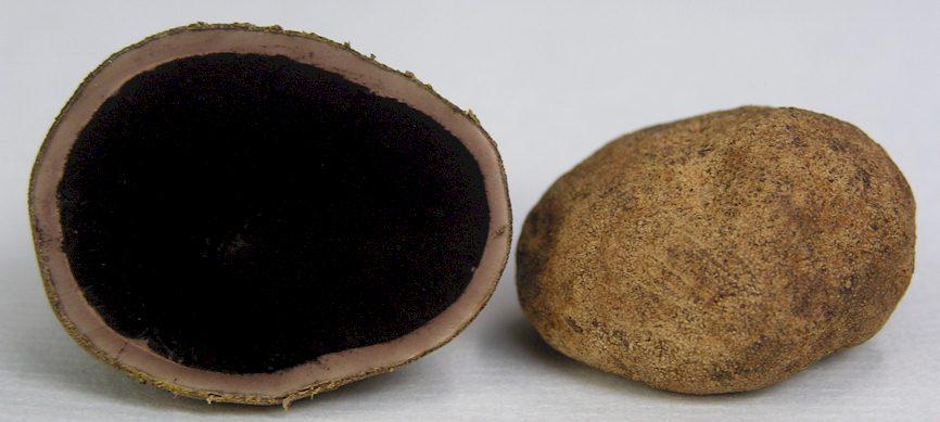 Elaphomyces granulatus - Fruchtkörper im Querschnitt und Exoperidie mit Warzen