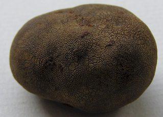 Elaphomyces granulatus Fruchtkörper