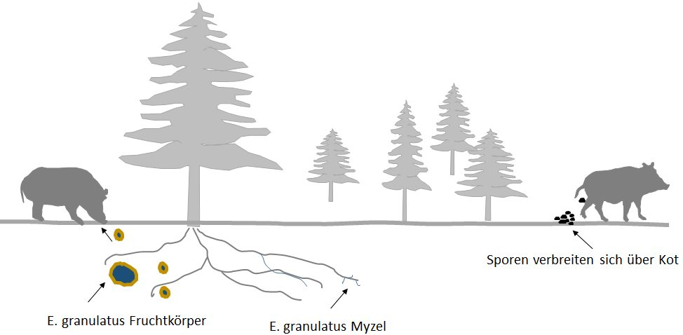 Der Lebenszyklus - Myzel - Fruchtkörper - Sporenverbreitung durch Mykophagie via Wildschweine