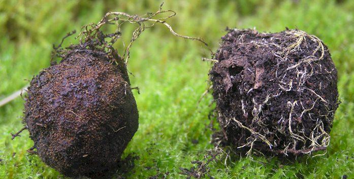 Wurzelhülle von Elaphomyces muricatus