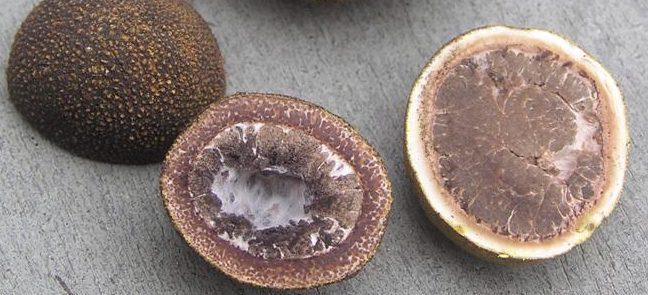 Vergleich von E. granulatus und E. muricatus
