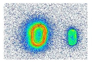 Verteilung der Cäsium-137 Aktivität in einem Hirschtrüffel Fruchtkörper