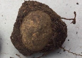 Wurzelhülle präpariert von Elaphomyces
