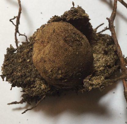 Warzige Hirschtrüffel mit Fichtenwurzeln, Bodenpartikeln und Pilzmyzel