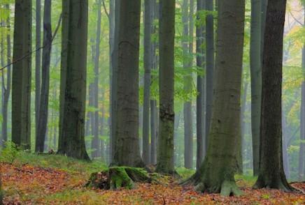 Cäsium 137 Aktivität im Holz von Buchen und Fichten