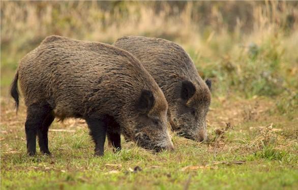 Wildschweine haben in einigen Regionen immer noch Cäsium 137 Aktivitäten über dem Grenzwert von 600 Bq/kg