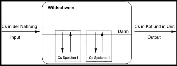 Der Cäsium-137 Stoffwechsel im Wildschwein