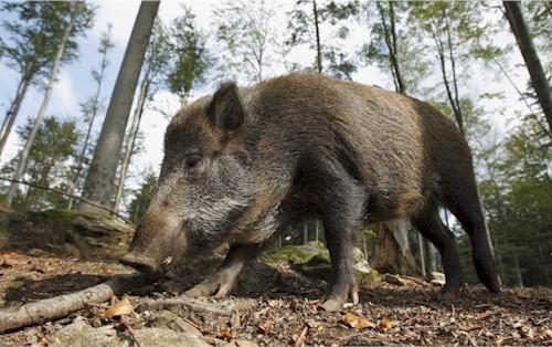 Bisher keine Übertagung von Coronavirus-SARS-CoV-2 bei Wildschweinen bekannt