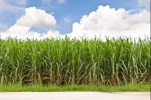 Stand der Forschung bei Coronavirus in Getreide, Obst, Beeren und landwirtschaftlichen Nutzpflanzen