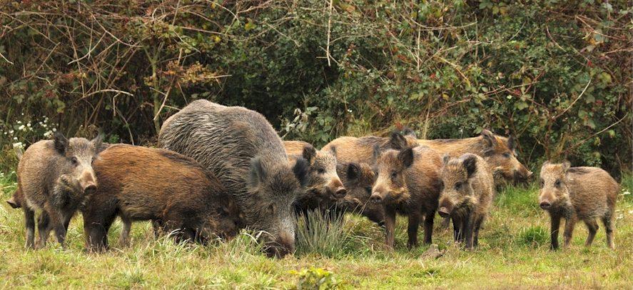 3 Wildschweingenerationen: Bache, Überläufer und Frischlinge