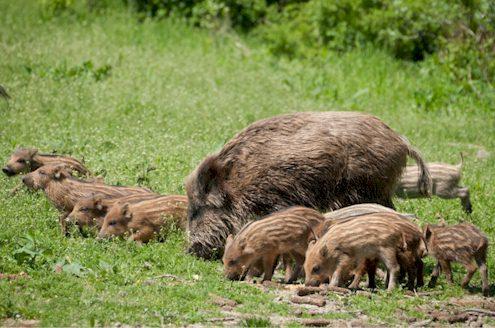 Wildschweinmutter mit Frischlingen
