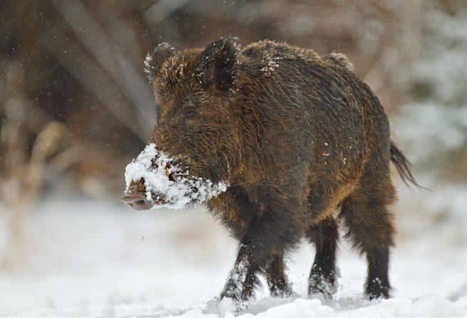 adultes männliches Wildschwein - ältere Keiler leben allein