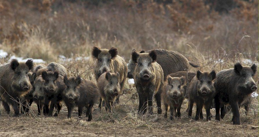 Ein Wildschwein Familienverband - Die Rotte