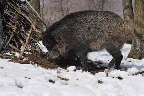 Wühlstelle von einem Wildschwein