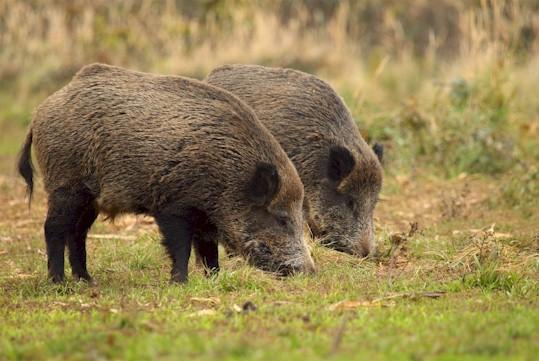 Nahrungs von Wildschweinen