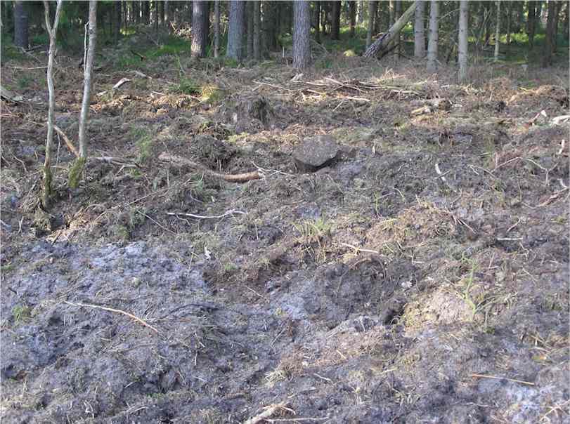 Hier haben Wildschweine den Waldboden bis zum Mineralboden großflächig umgewühlt